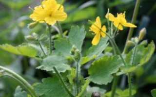 Лечение дерматита травами: рецепты для мазей, компрессов и напитков