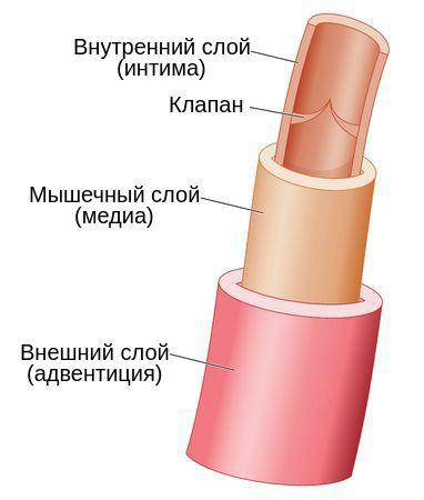 stroenie-veny_s.jpg